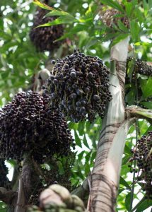 Acai Berry Antioxidants in Food by Pineapple Express Superfood Cafe